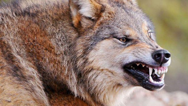 ВРостовской области бешеный волк напал на60-летнего пасечника