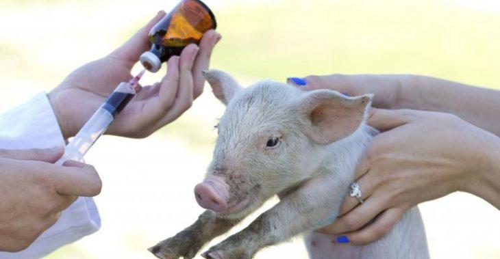 farm-animal-antibiotics
