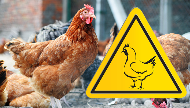 backyard-chickens-and-bird-flu-how-to-spot-it-and-why-it-matters-blog-cover