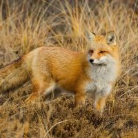 foxes_478430
